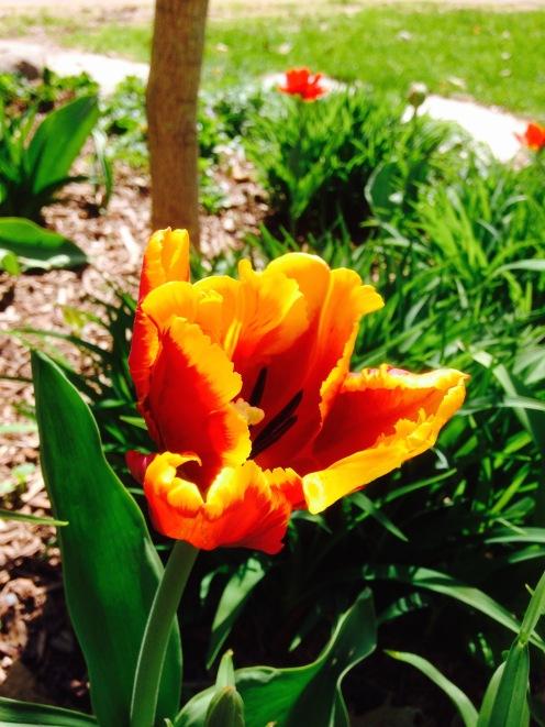Parrot Tulip - Bright