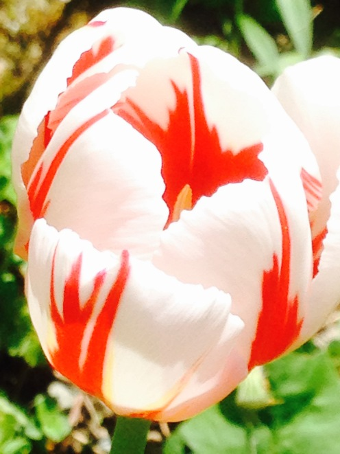 Tulip - Sorbet