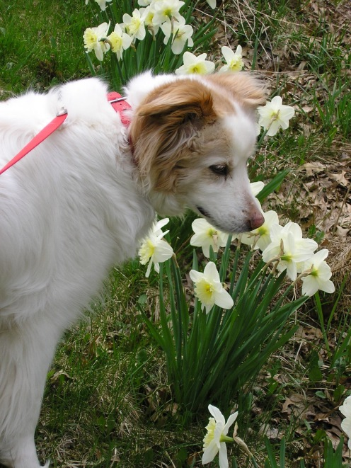 Betsy inspecting the daffodils