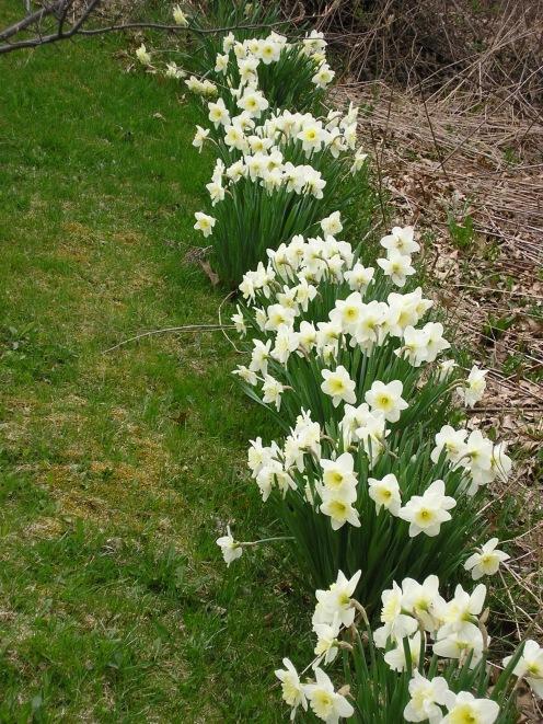 Daffodils line the neighborhood roads