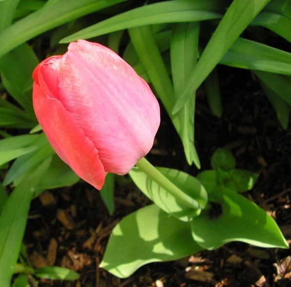 Red Darwin Hybrid